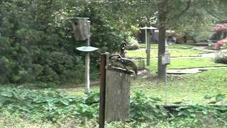 Wood Ducks-female Flying Into Box.wmv