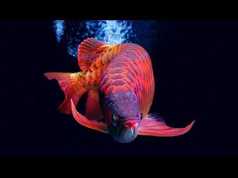 """Mê mẩn với vẻ đẹp của """"Đế vương"""" trong thế giới cá cảnh"""