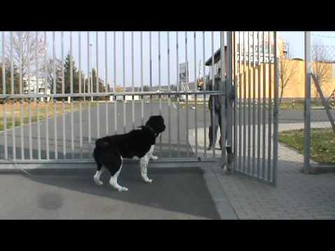 Central Asian Shepherd dog, közép-ázsiai juhász őrző-védő teszt