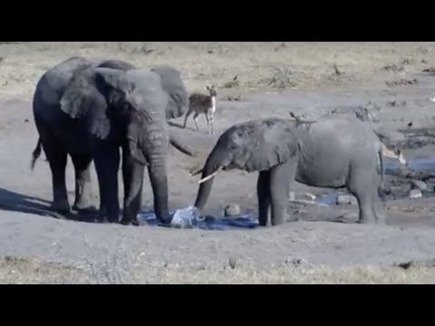 LIVE: Wild Elephants at African Watering Hole | The Dodo LIVE