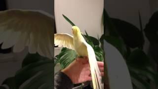 オカメインコ 口笛 となりのトトロ となりのトトロ 検索動画 43
