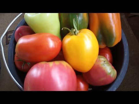 Собираем томаты ведрами без фитофторы.Новые сорта.Обработка от фитофторы.