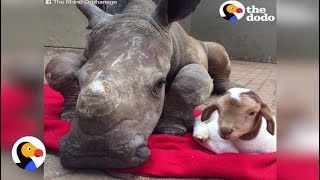 Baby Rhino, Goat Become Friends While Rhino Recovers from Stab Wounds | The Dodo