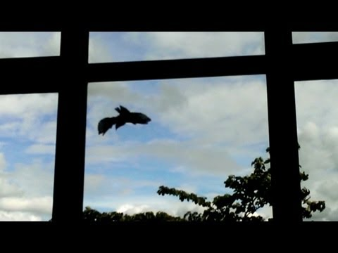 Crazy Birds Hit Windows Over And Over Again