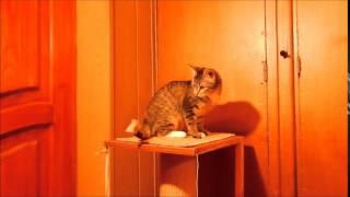 Коша  и скотч Смешные кошки