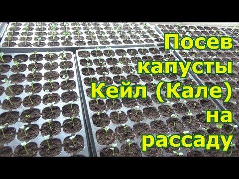 Посев капусты Кейл (Кале) в кассеты для рассады