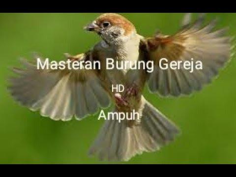 Masteran Suara Burung Gereja Tarung Durasi Panjang Youtube