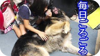 grandchild and #GermanShepherd dog#Akita Inu #JAPANESEAKITA#ジャー...