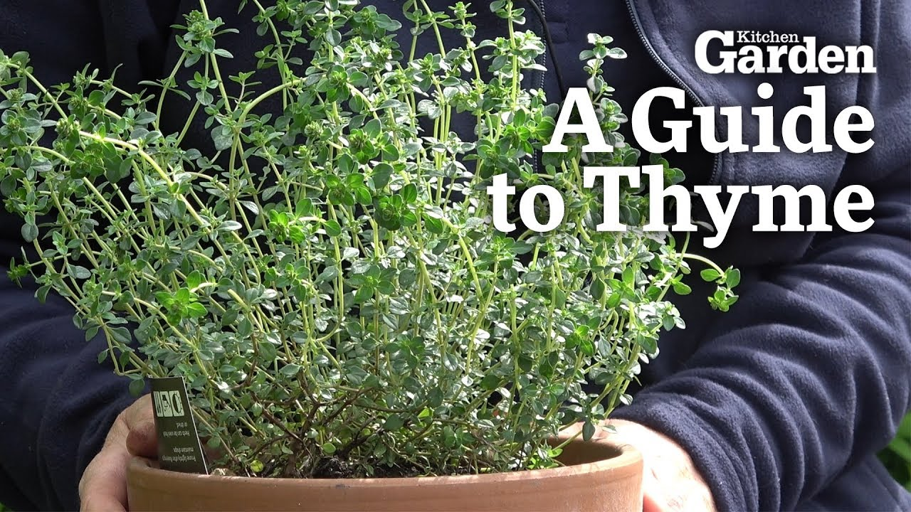 Download A Guide to Thyme