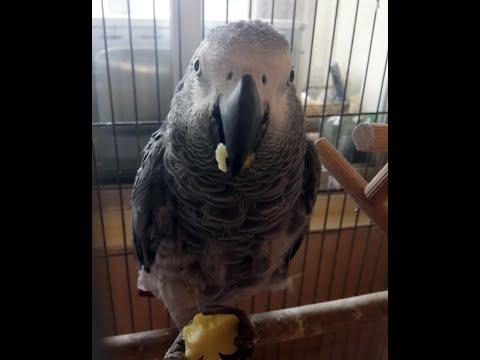 African Grey Parrot slideshow
