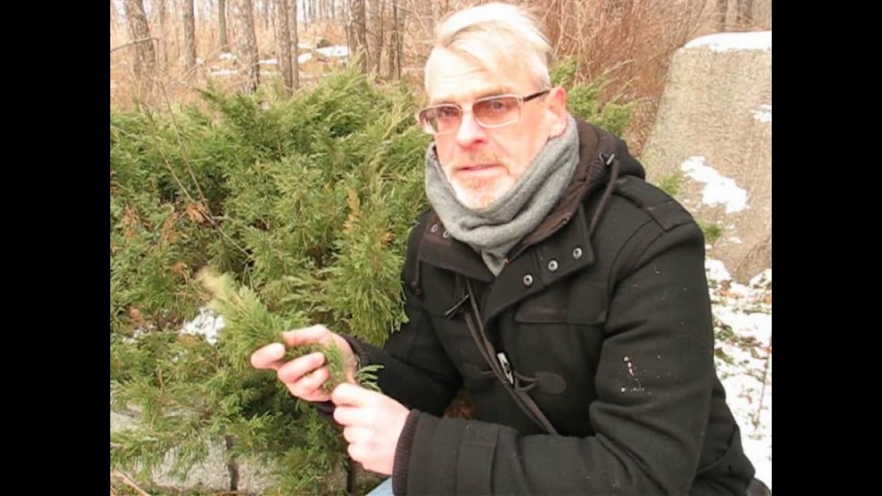 Зимнее размножение хвойных черенками