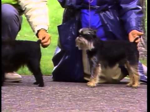 Affenpinscher - AKC Dog Breed Series