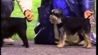 Affenpinscher  AKC Dog Breed Series