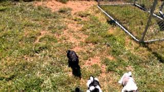 HAVAMALT PUPPIES FIRST TIME OUTSIDE PART 2