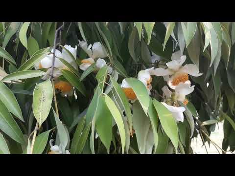 ต้นดอกบุญนาค ดอกมีกลิ่นหอม ดอกสวย น่าปลูกไว้ขาย