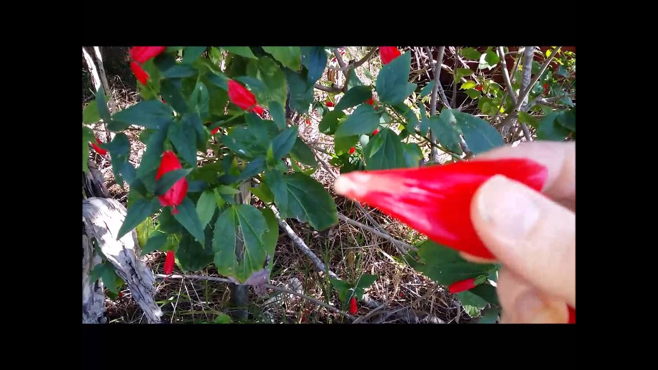 Poisonous Flowers I Hope Not Eating Hibiscus Flowers Youtube