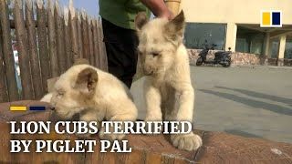 Lion cubs terrified when introduced to piglet pal