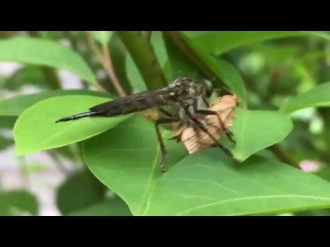蛾を抱えてクロモジの木に止まっているアブ