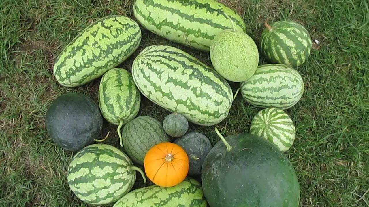 fifteen watermelon one pumpkin inland empire southern california