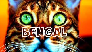 Beautiful World of Bengal Cats!