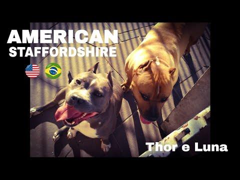 Thor e Luna - American Staffordshire Terrier (instagram - ricardosilva_personal)