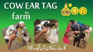 How to Apply cowTags . dairy & cuttel farming in pakistan