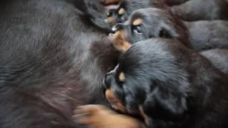 Rottweiler Puppies 3 weeks old