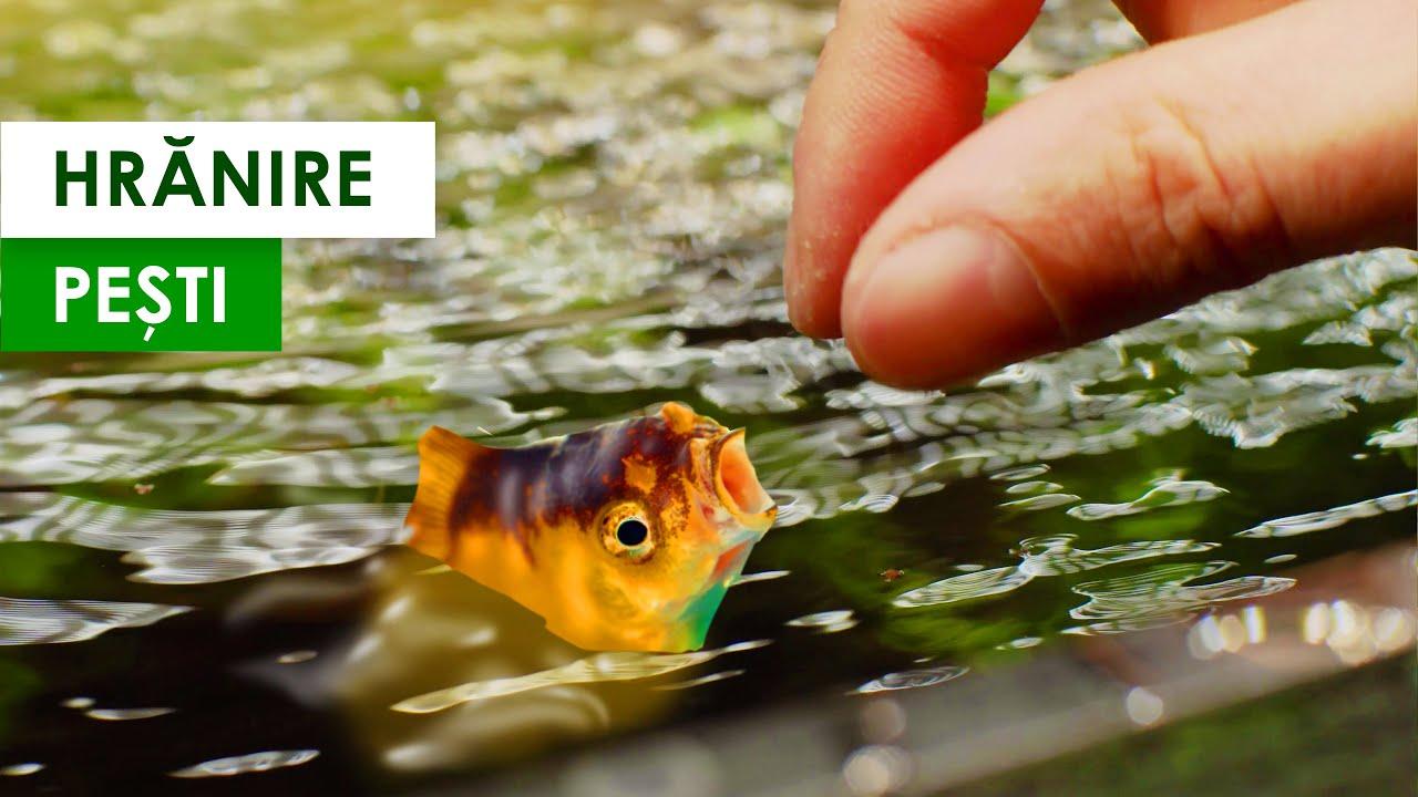 pești de aur inelari)