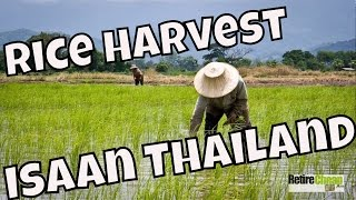 Rice Harvest Season in Isaan Thailand
