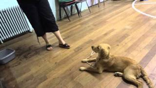 Poppy - Golden Retriever Puppy - Dog Boot Camp With Adolescent Dogs