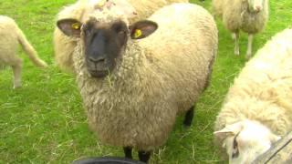 Schafe lustig bääähhh Bauernhofgeräusche - Schaf, Lamm, Schafbock, die ganze Meute