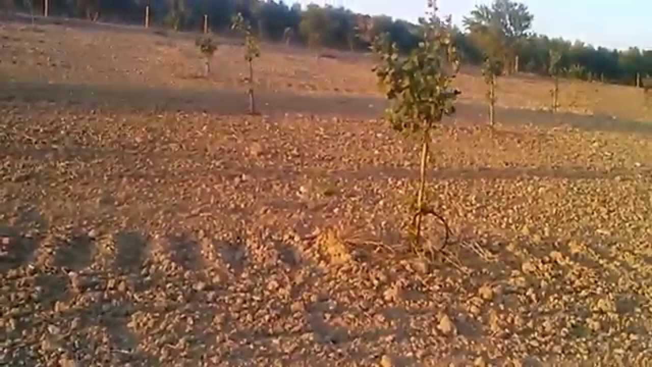 Plantaci n de pistacho de 3 a os en riego youtube for Riego por goteo pistachos
