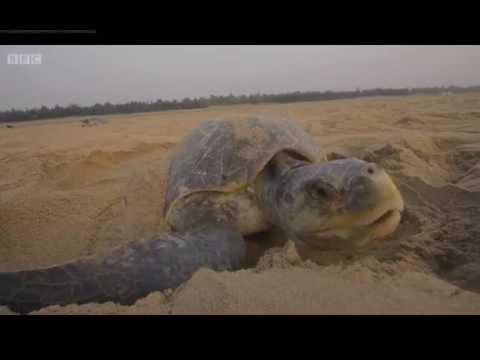 India Nature's Wonderland, Olive Ridley Turtles