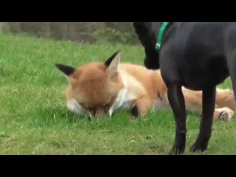 Fox vs dog. Dog tries to play with a fox