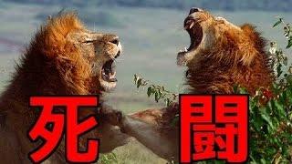 【衝撃映像】ライオンの共食い!捕食されたのは戦いに破れた雄!ド迫力...