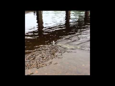 Landlock Salmon Magaguadavic river