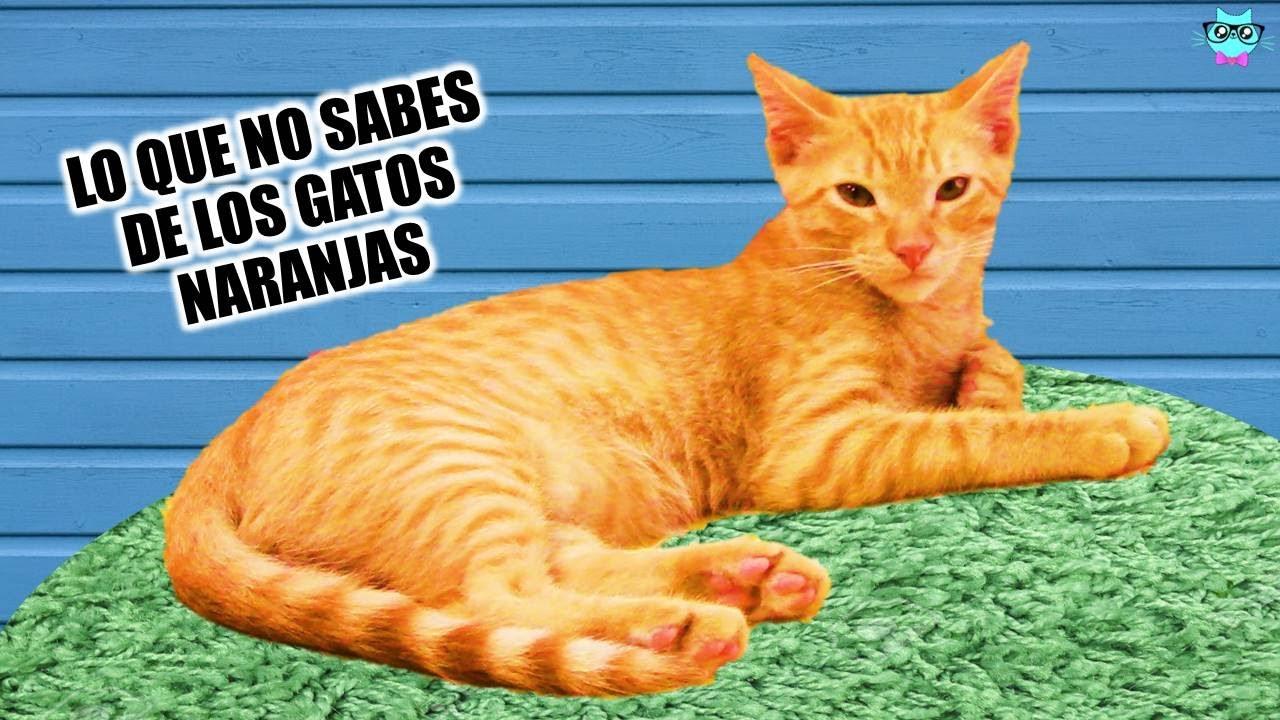 Curiosidades De Los Gatos Naranjas Youtube