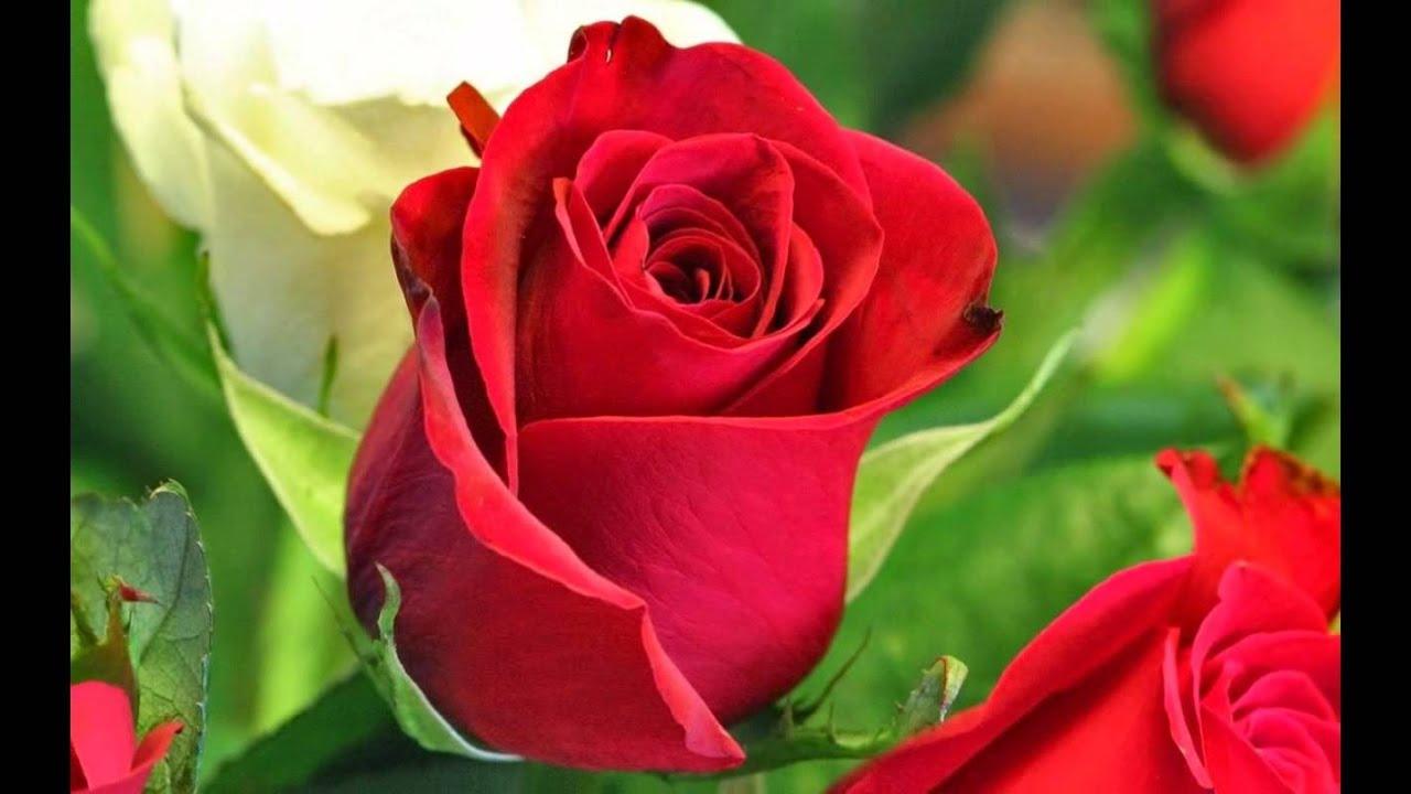 Mis Rosas Bellas Youtube