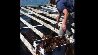 Integrating Kelp onto Shellfish Farms in Maine, 2011-2012