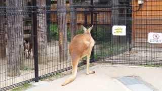 目の前でカンガルーが柵をこえて逃走(;゜(エ)゜) 怖いから私も逃げた(笑)