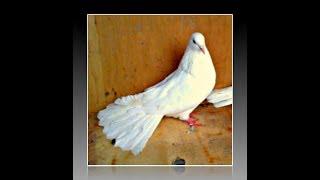 Николаевские голуби. Pigeons/ Белые. КРЫМ