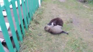 Коты озверели, бои котов...