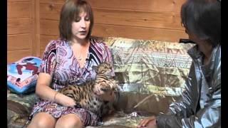АБИССИНЫ, БЕНГАЛЫ И ОЦИКЕТЫ / Abissinian cats, Bengal cats, Ocicat cats