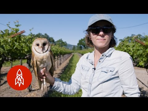 wine article Barn Owls The Secret Saviors of Napa Valleys Vineyards
