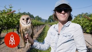 Barn Owls: The Secret Saviors of Napa Valley's Vineyards thumbnail