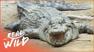 Ningaloo Reef - Where Ocean Giants Meet [Shark Documentary] | Real Wild