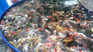 Japanese carp farming. How To Eat Fish, Japanese Koi Fish, Ca Cua