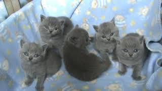 Видео британские котята. П-к SILVERY SNOW. Возраст 4 недели