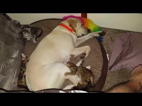 Maine Coon savannah cross kittens playing on dog