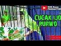 Cucak Ijo Trotol Purwo Mantap Rgr Green Prodaction  Mp3 - Mp4 Download